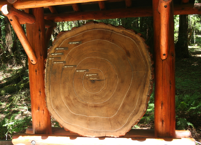 США | Срез дерева, парк Redwood, Сан-Франциско