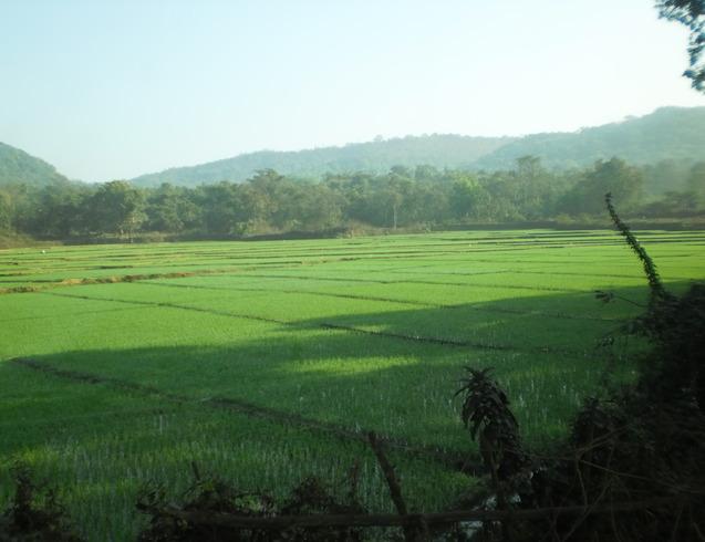 Индия | рисовые поля