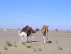 | Camels around Mejik, East of Western Sahar