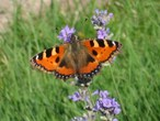 | Бабочка на цветке лаванды .