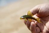 | Амазония. одна из многочисленных разновидностей рыбы-кота...