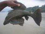 | Амазония. одна из многочисленных разновидностей рыбы-кота.
