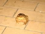 | Наша заколдованная принцесса. Много лет у нас в саду живёт эта большая лягушка.г.Лагош.