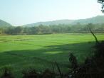 | рисовые поля