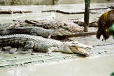 | Жители крокодиловой фермы