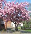 | Вишня расцвела . Привет весна!